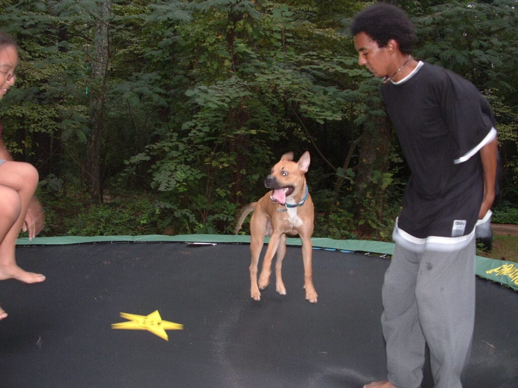 Bruno the boxer on the trampoline