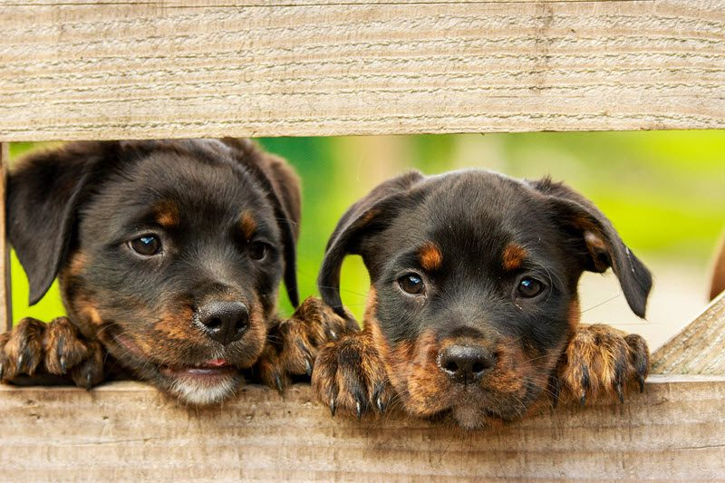 puppies looking through a fence that isn't wireless or an invisible dog fence